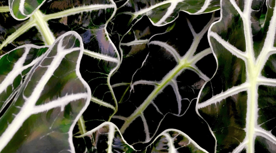 alocasia black shield closeup of dense foliage