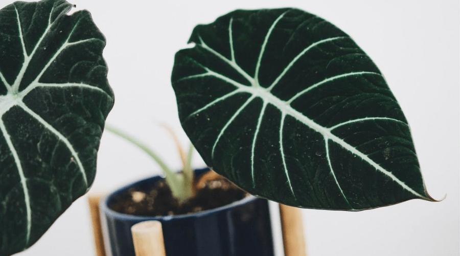 alocasia black velvet in pot indoors closeup of foliage
