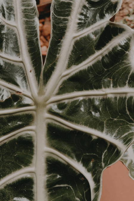 ALOCASIA POLLY HOUSEPLANT CLOSEUP OF FOLIAGE VEINING AND SILVER STRIATION