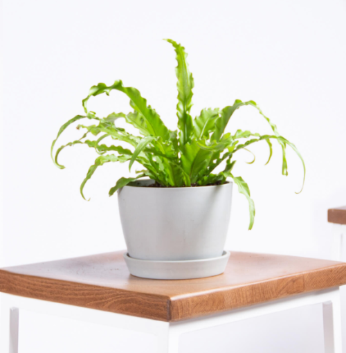 Buy Bird's Nest Fern at Bloomscape