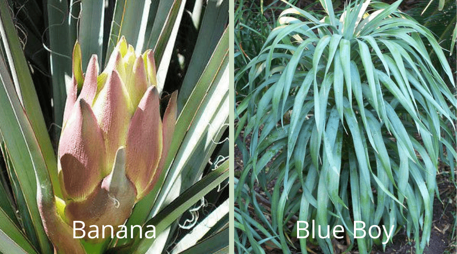 yucca varieties banana and blue boy