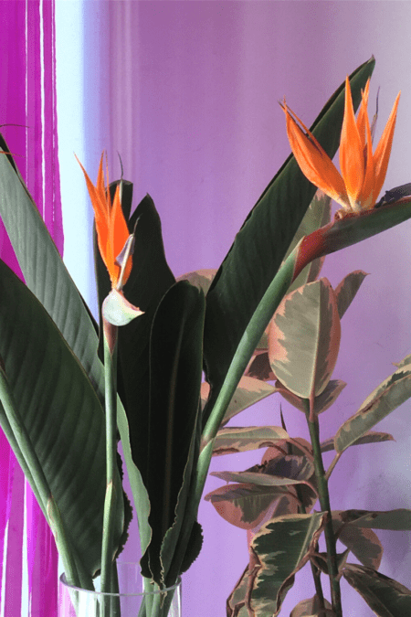 grow lamp light indoor blooming bird of paradise plant
