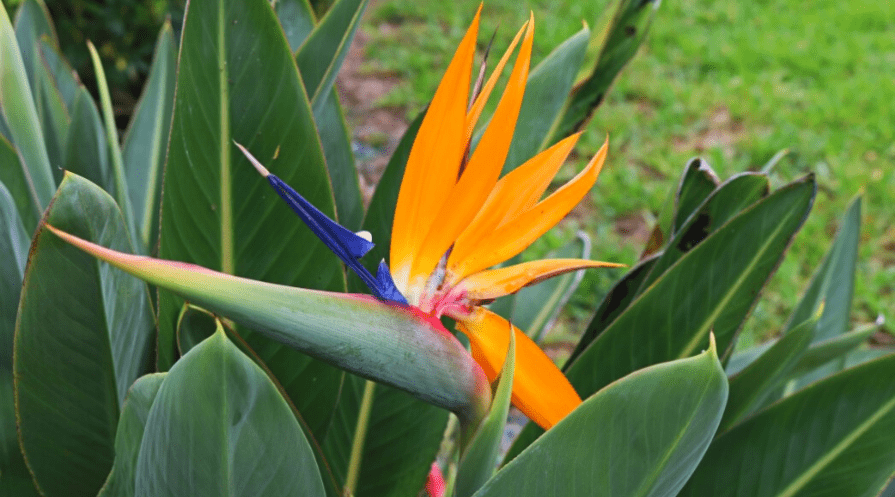 bird of paradise outdoor plant care guide
