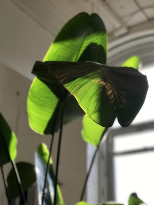indoor bird of paradise plant foliage