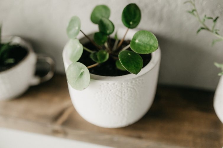 small pilea peperomioides chinese money plant in white planter indoors on shelf