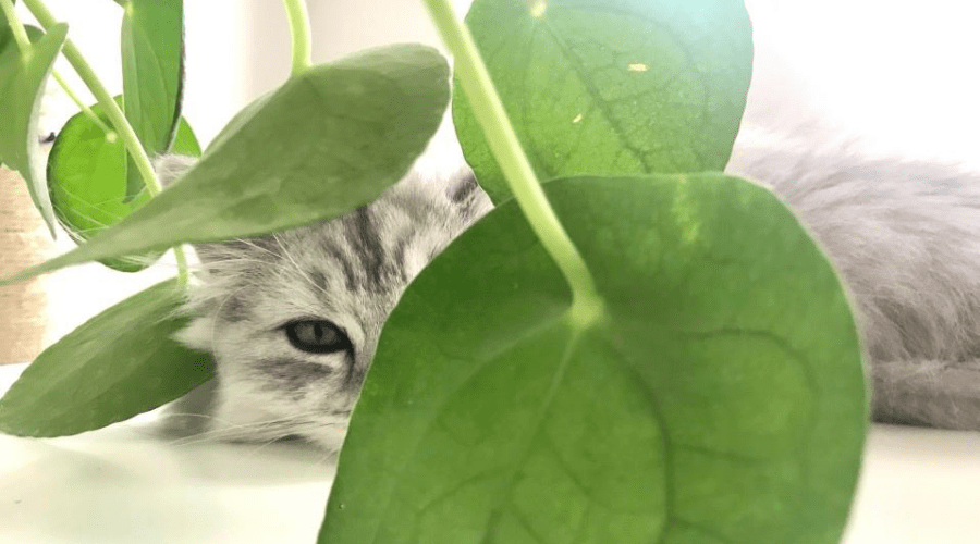 chinese money plant indoors with cat