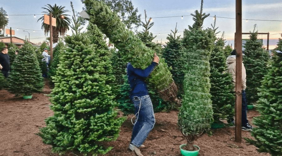 christmas tree shopping at a lot where a man is placing a tied tree into a stand