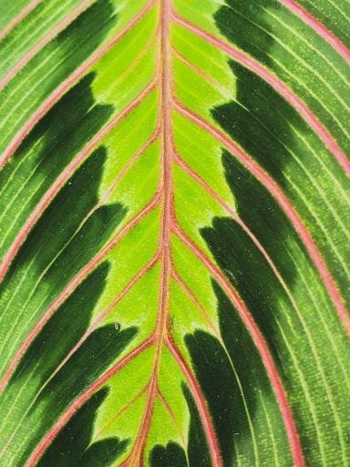 prayer plant maranta rosea picta closeup of foliage