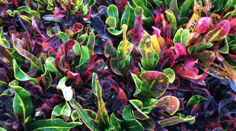 croton petra foliage outdoors in shades of green pink and yellow