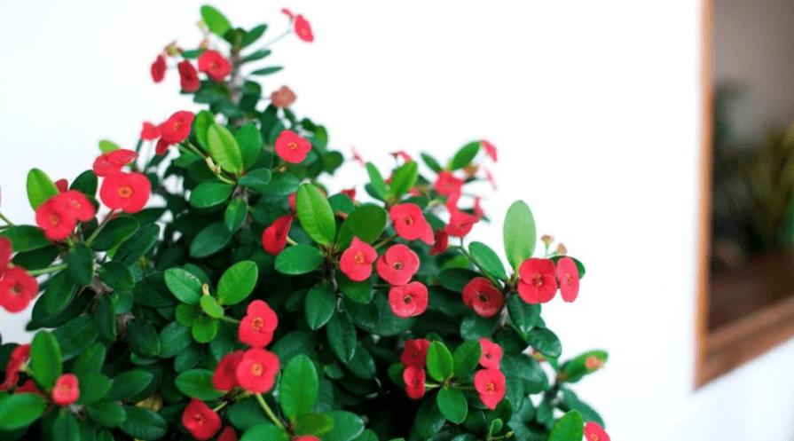 healthy crown of thorns euphorbia millii flowering indoors