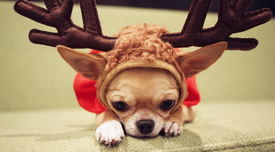 cute christmas quotes adorable chihuahua