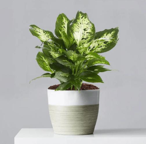 Buy Dieffenbachia Plant at Plants.com