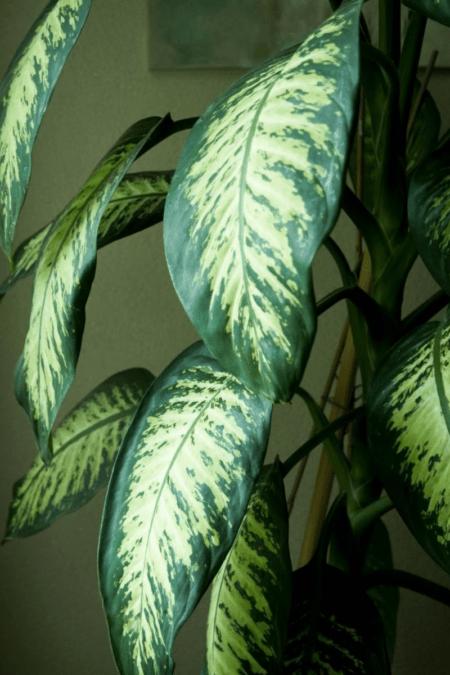 houseplant dumb cane tropic snow cultivar foliage indoors