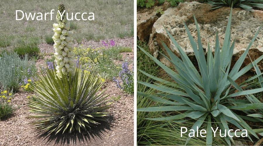yucca varieties dwarf nana pale pallida