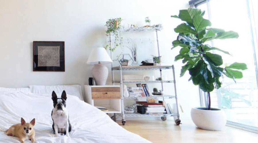 fiddle leaf fig tree ficus lyrata indoors in bedroom planter