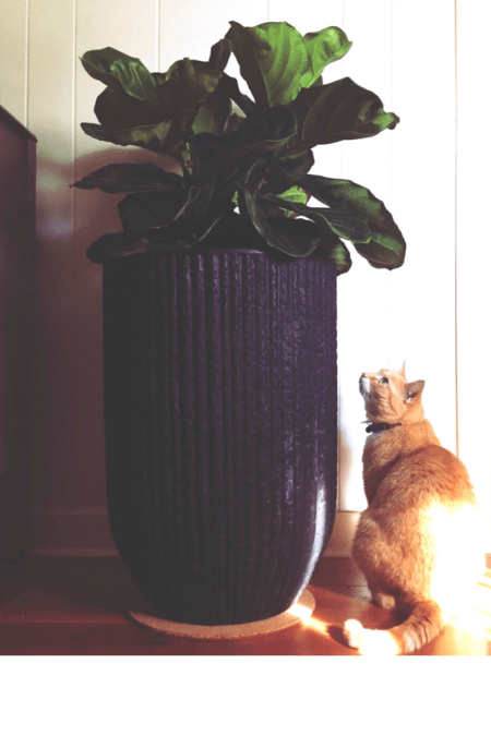 indoor ficus lyrata on pedestal stand and cat