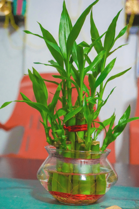 curly bamboo makes a great office plant in a glass jar and water growth