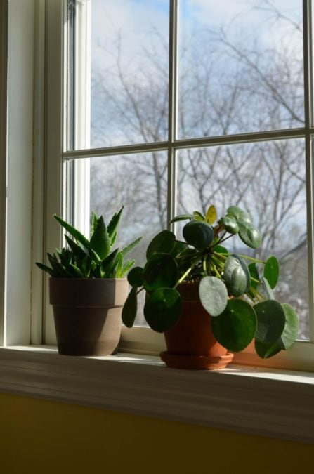 chinese money plant peperomioides in window in planter with aloe