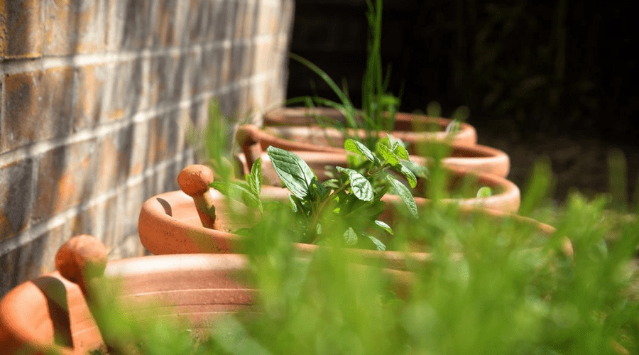 herb plants in planters