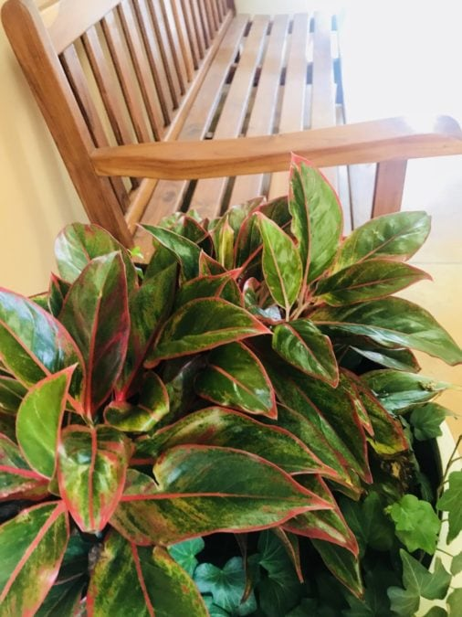 chinese evergreen red agloenema outdoors for summer on porch