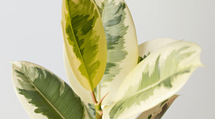 indoor tropical variegated rubber plant