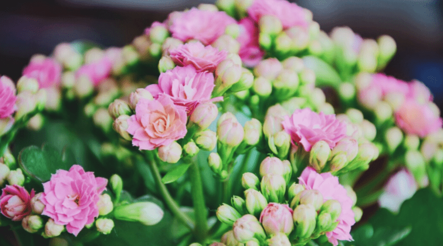 kalanchoe succulent in bloom with pink flowers