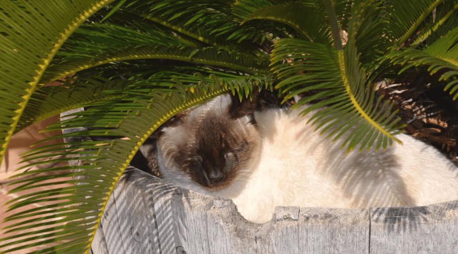 kentia palm in barrel planter with sleeping siamese cat underneath