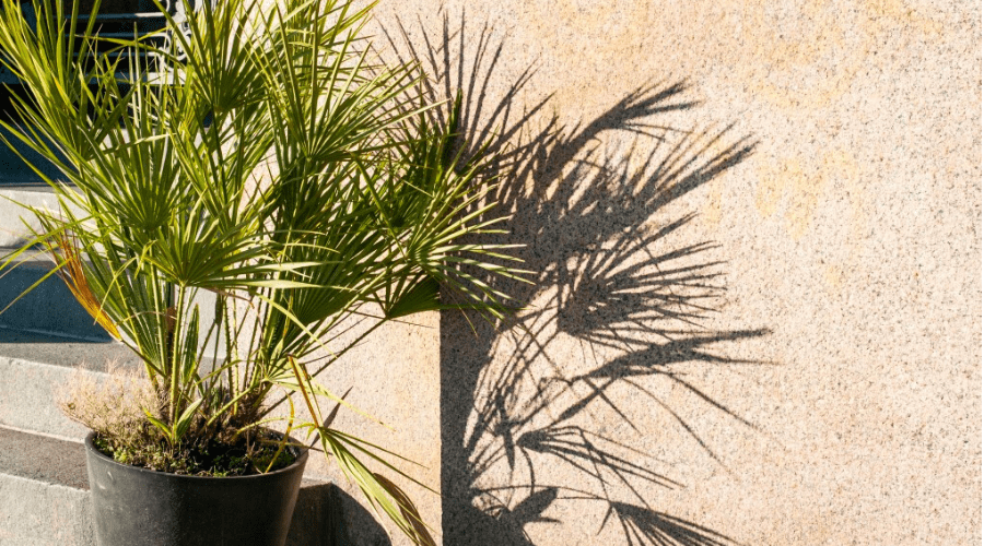 outdoor kentia palm in sunshine