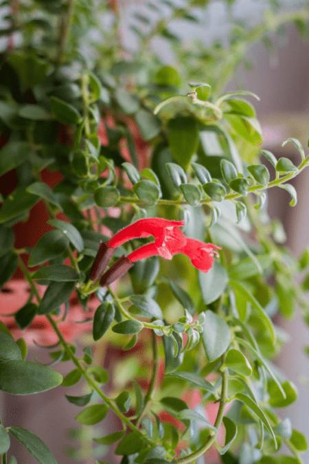 lipstick plant selective focus closeup indoors in bloom