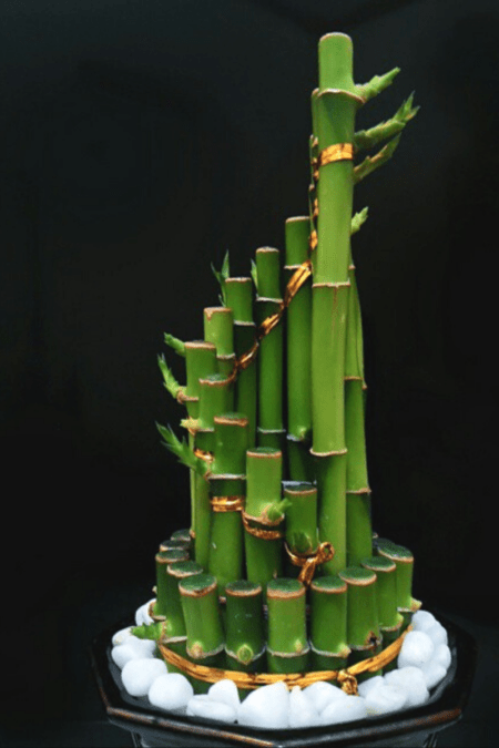 lucky bamboo display with many stems has significant meaning