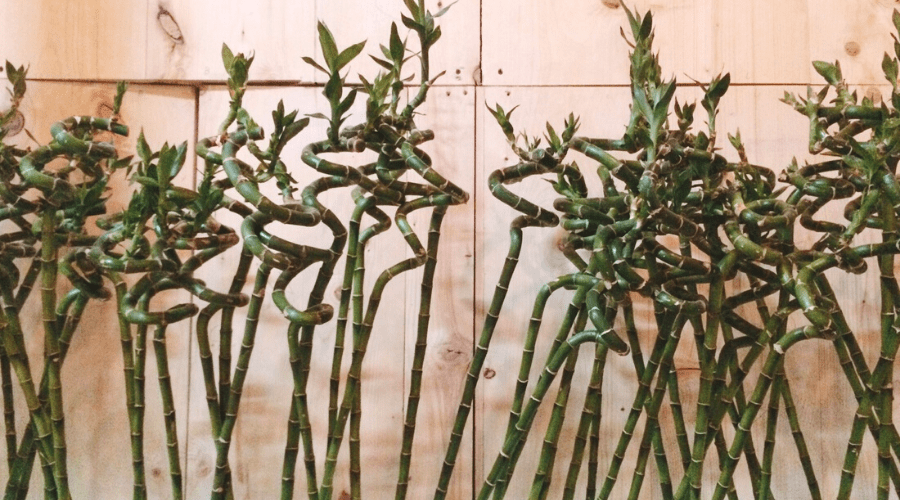 curly bamboo growing in a long planter with many stems