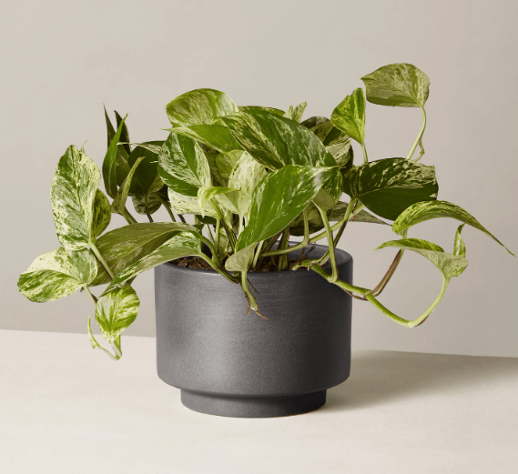Buy Pothos at TheSill.com