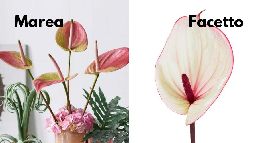 anthurium varieties marea and facetto