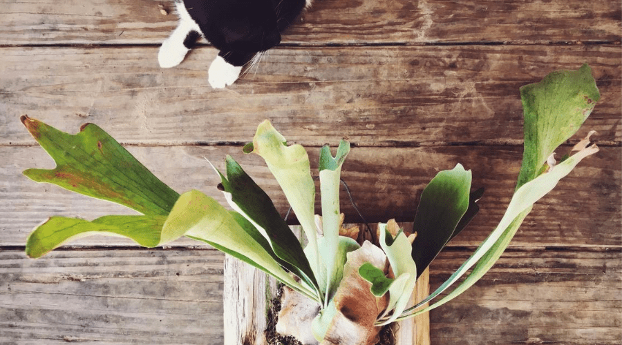 mounted staghorn fern indoors with cat