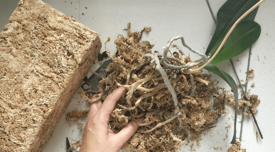 phalaenopsis orchid soil repotting removing old medium