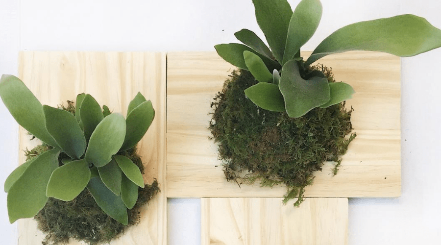 staghorn ferns mounted on unfinished wood planks with sphagnum moss and wire