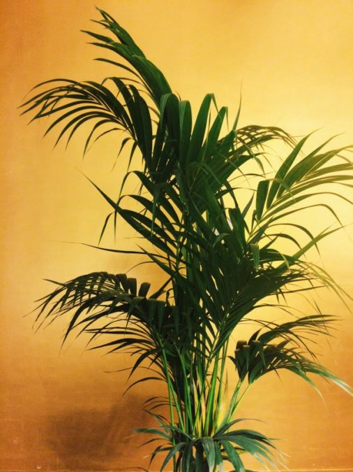kentia palm potted indoor plant on yellow wall