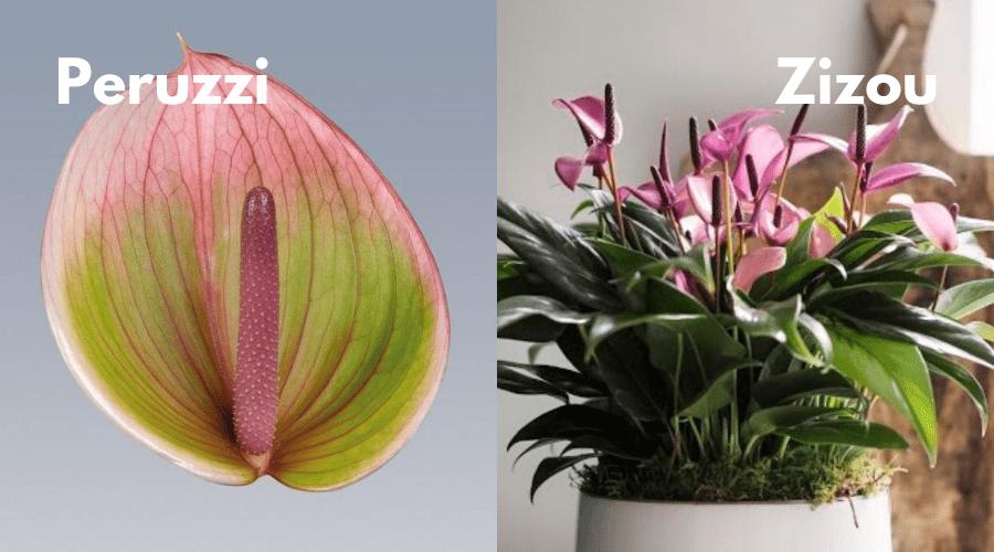 anthurium varieties peruzzi and zizou