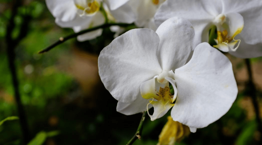 White phalaenopsis orchid flower in a garden on blurred background