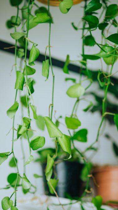 hanging pothos vines indoors leaves curling needs water