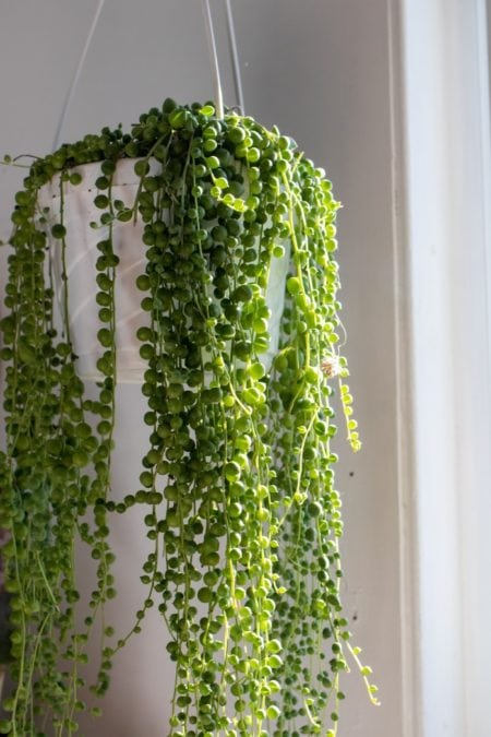 mature string of pearls plant in hanging planter indoors