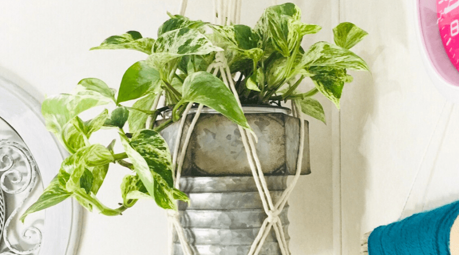 pothos easy care houseplant in diy hanging planter