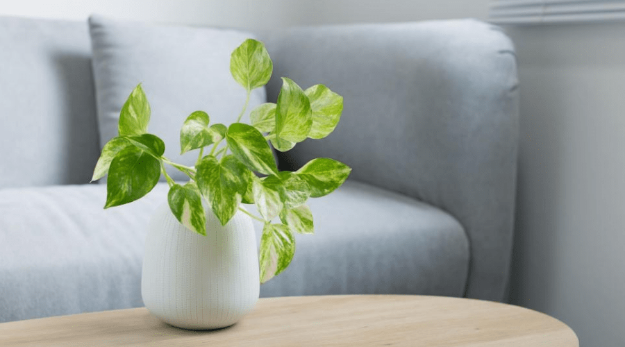 pothos devil's ivy on coffeetable in white planter