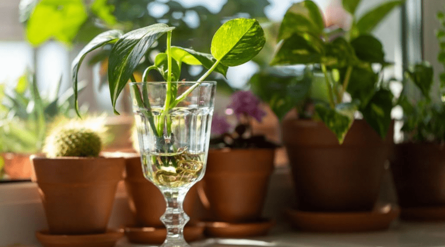 propagating pothos plants in water to grow new roots
