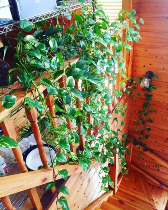 pothos growing over railing indoors trailing houseplant