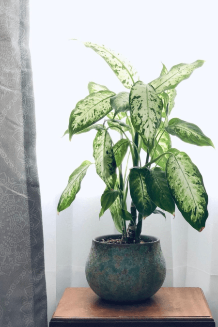 potted dieffenbachia camille on side table in filtered bright light