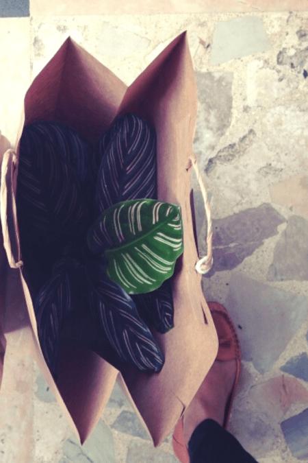 pinstripe maranta prayer plant inside a paper shopping bag