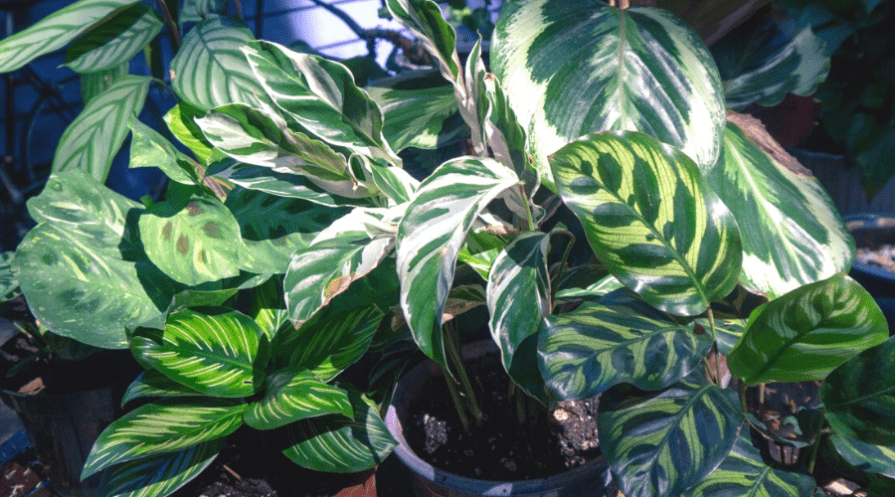 many varieties of maranta plant under white grow lamp in pots