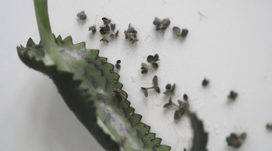 scions or plantlets of kalanchoe leave on white surface closeup
