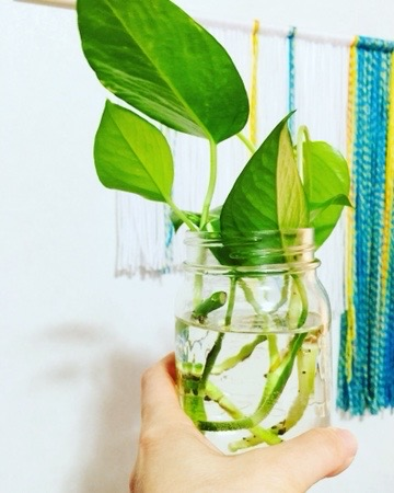 small pothos cutting rooting in water in glass jar